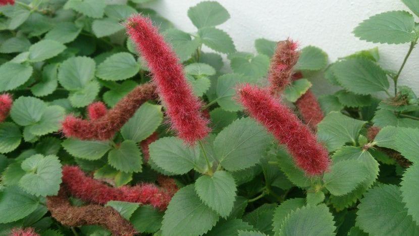 Planta en flor de la Acalypha chamedrifolia