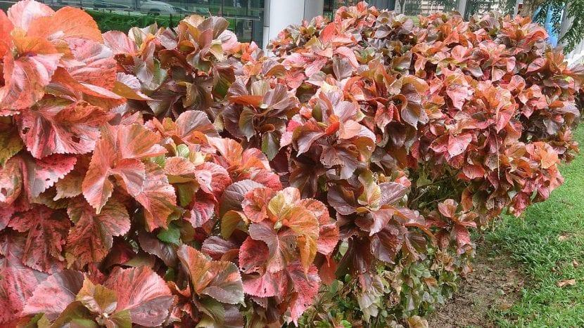 Acalypha wilkesiana en un jardín