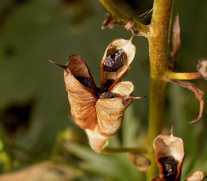 Fruto y semillas del Aconitum napellus, listos para sembrar