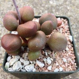 Ejemplar de Adromischus marianae 'Little Spheroid'