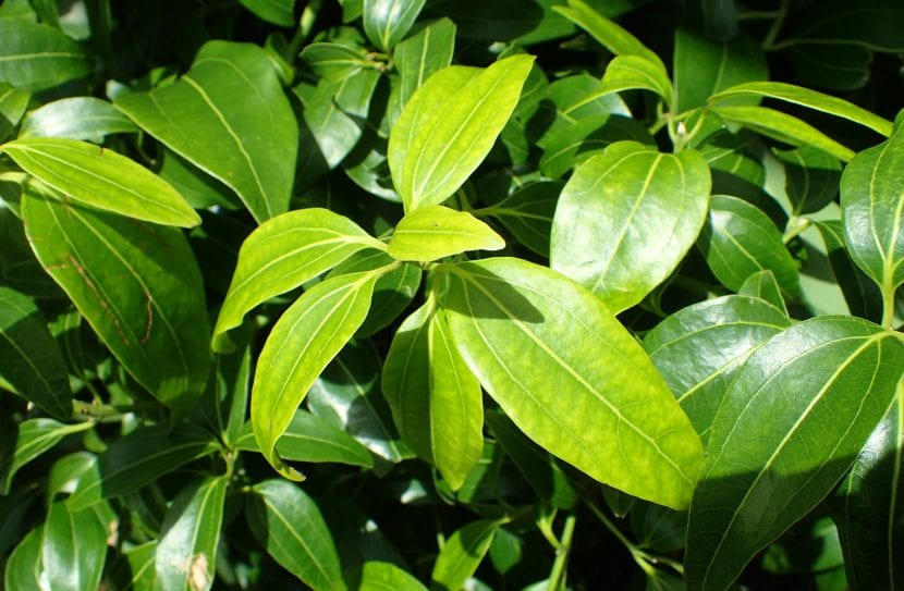 Hojas de Cinnamonum verum, el árbol de la canela
