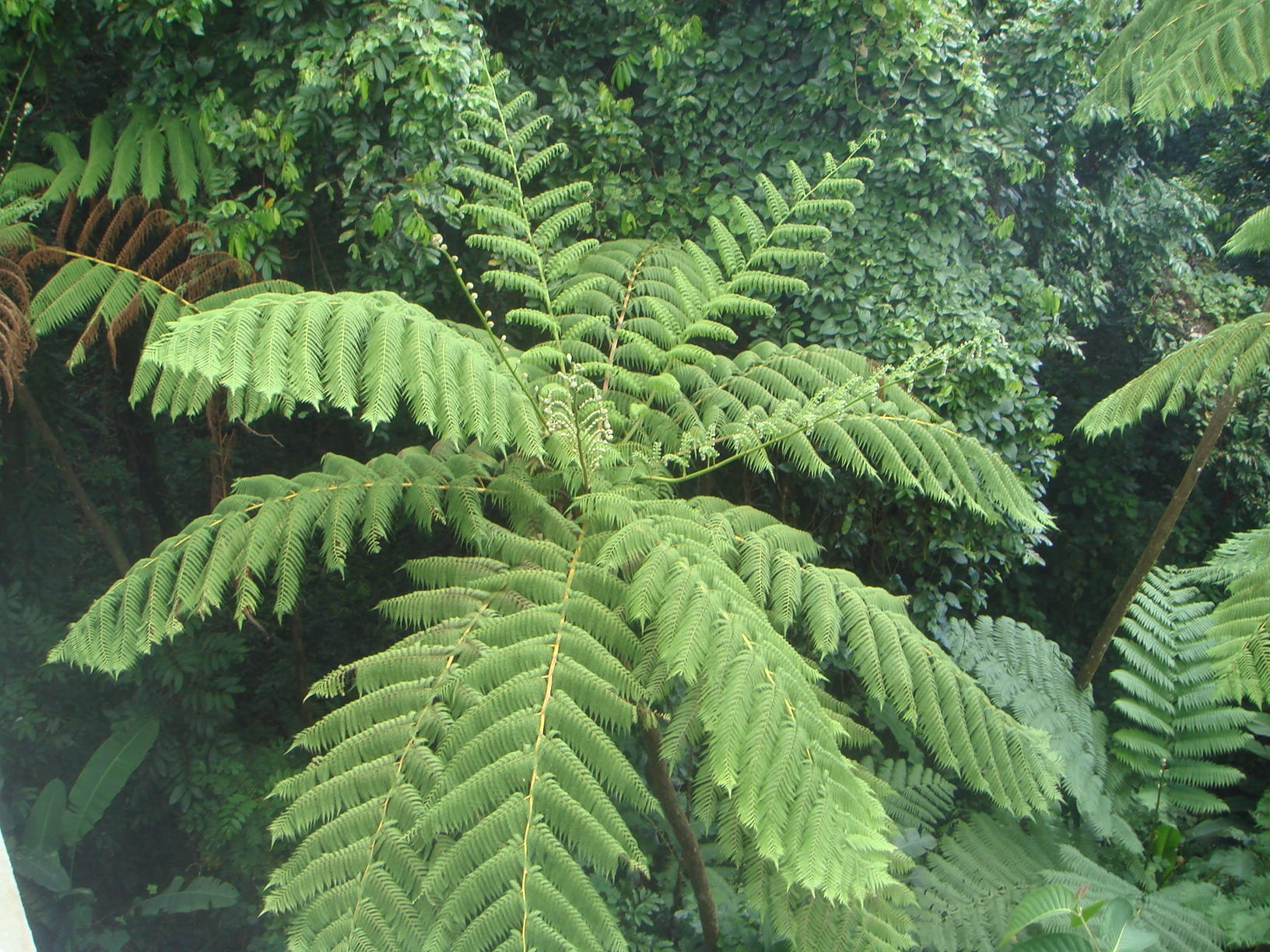 Vista de las hojas de la Cyathea arborea