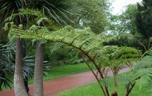 Ejemplar de Cyathea tomentosissima