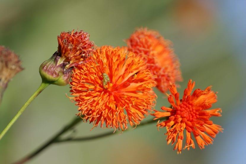 Flor de Emilia coccinea
