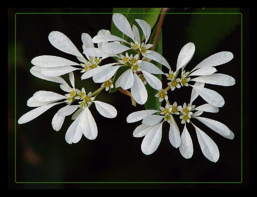 Flores de la Euphorbia leucocephala
