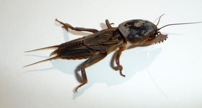 Gryllotalpa, el género del grillo topo