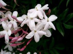 Ejemplar de Jazmín chino en flor