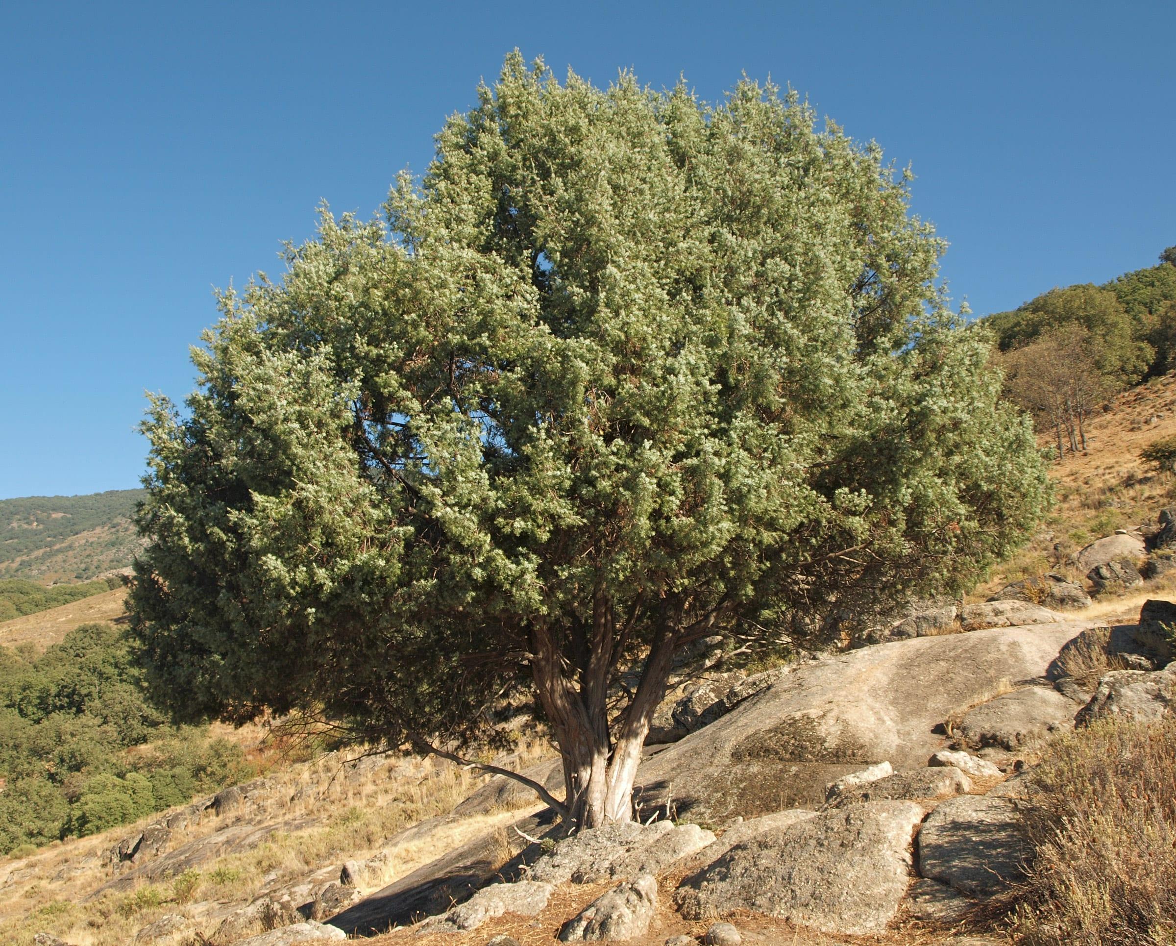 Ejemplar adulto de Juniperus oxycedrus