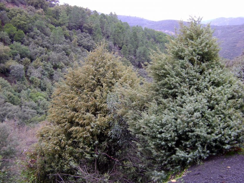 Juniperus oxycedrus habita en terrenos montañosos