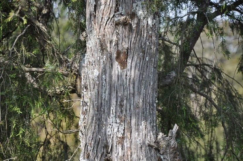 Preciosa imagen del tronco del Juniperus oxycedrus