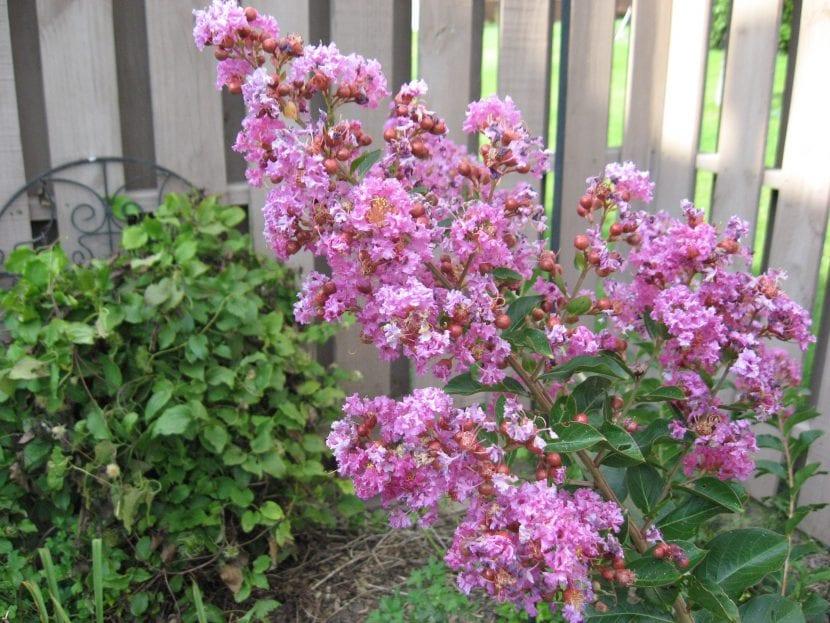 Vista de las preciosas flores de la Lagerstroemia indica