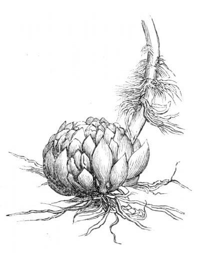 Bulbo de Lilium