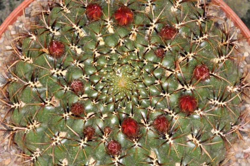 Ejemplar de Matucana aureiflora