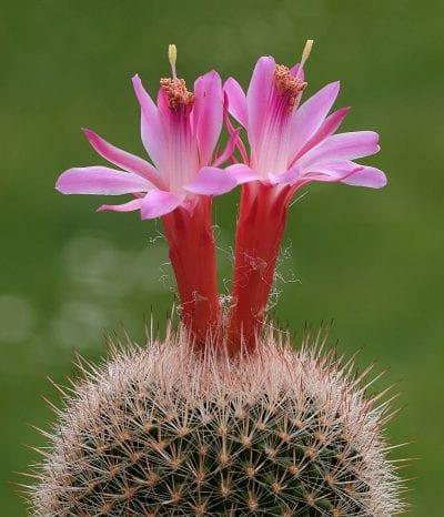 Ejemplar de Matucana roseoalba en flor