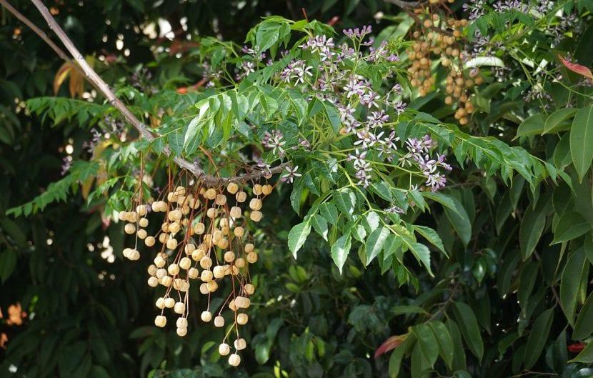 Hojas y frutos de la Melia azedarach