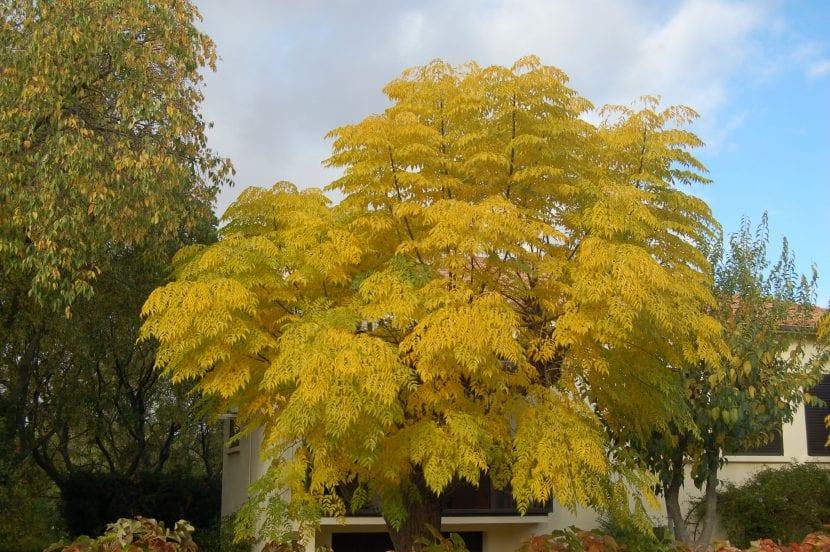Árbol de Melia azedarach en otoño