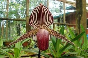 La orquídea más cara del mundo
