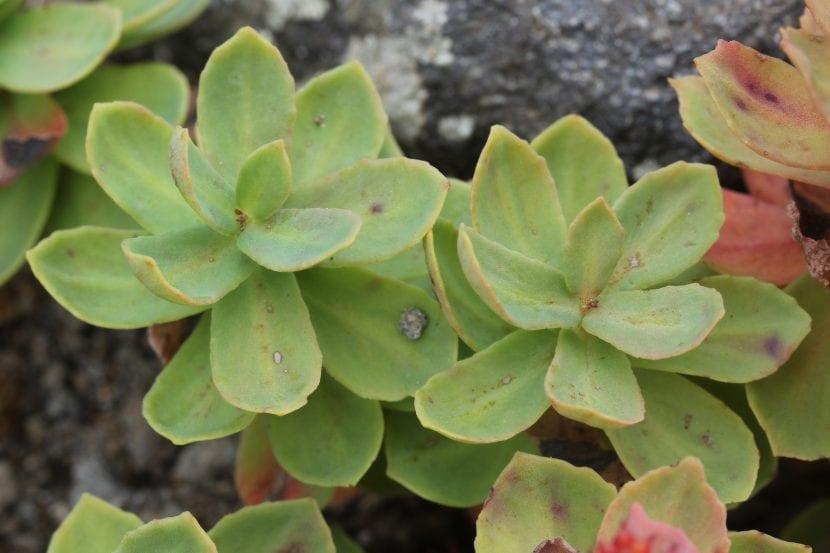 Detalle de las hojas de la Rhodiola rosea