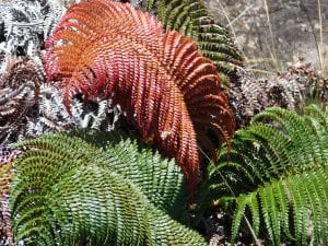Vista de la hoja nueva de la Sadleria cyatheoides