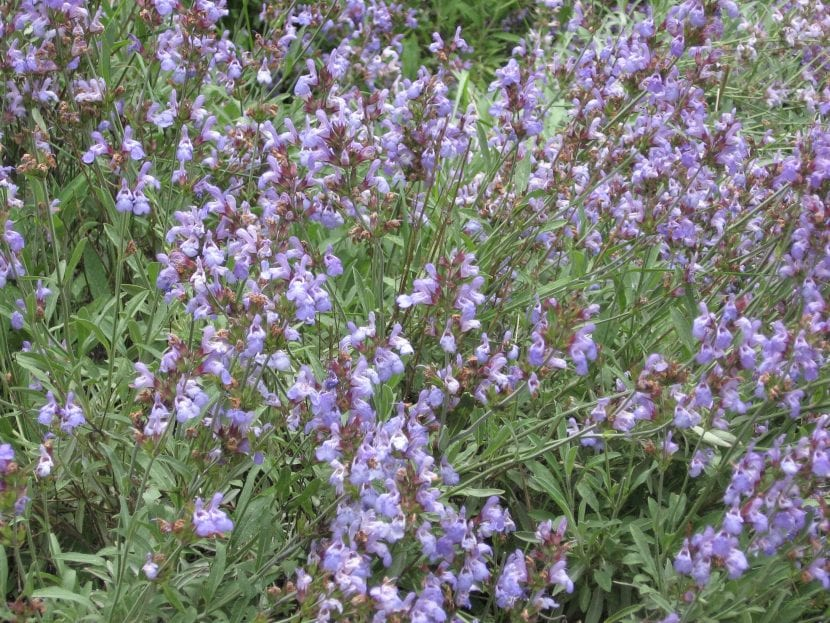 Riega tu Salvia officinalis para que florezca
