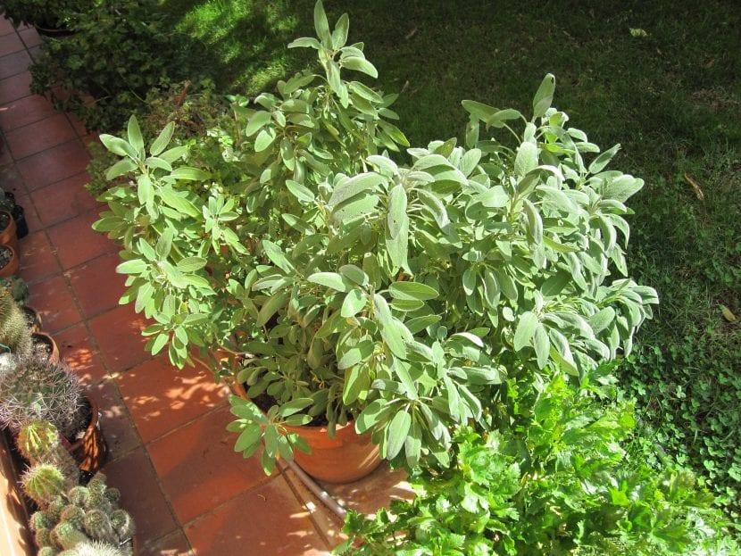 Coloca tu Salvia officinalis en maceta o en el jardín
