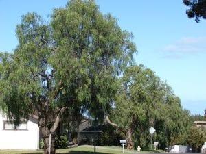 Vista de árboles de Schinus molle o falso pimentero