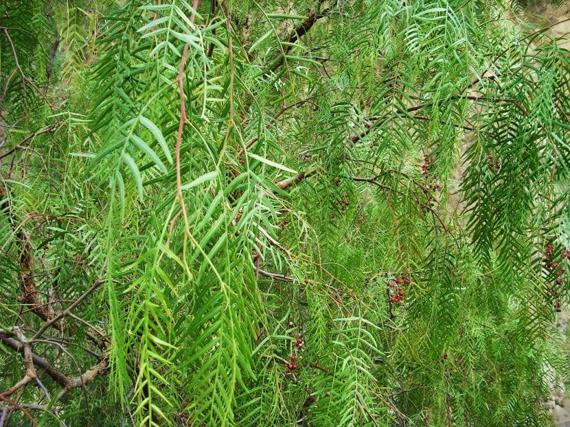 Detalle de las hojas del Schinus molle