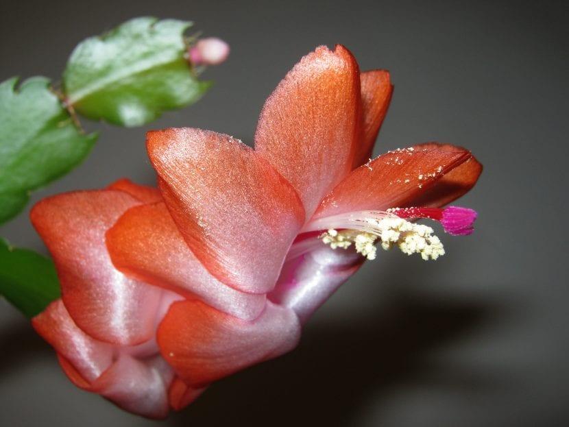 Cactus de Navidad de flor naranja, una planta fácil de cuidar
