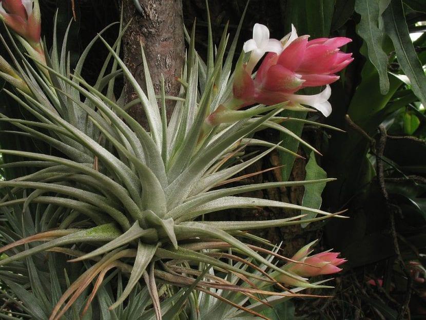 La Tillandsia es una planta que vive del aire