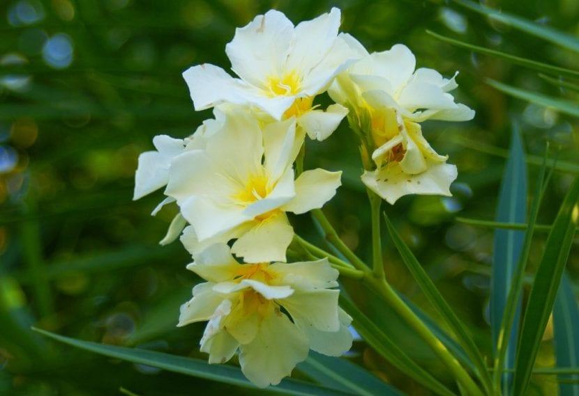 Ejemplar de adelfa de flor amarilla
