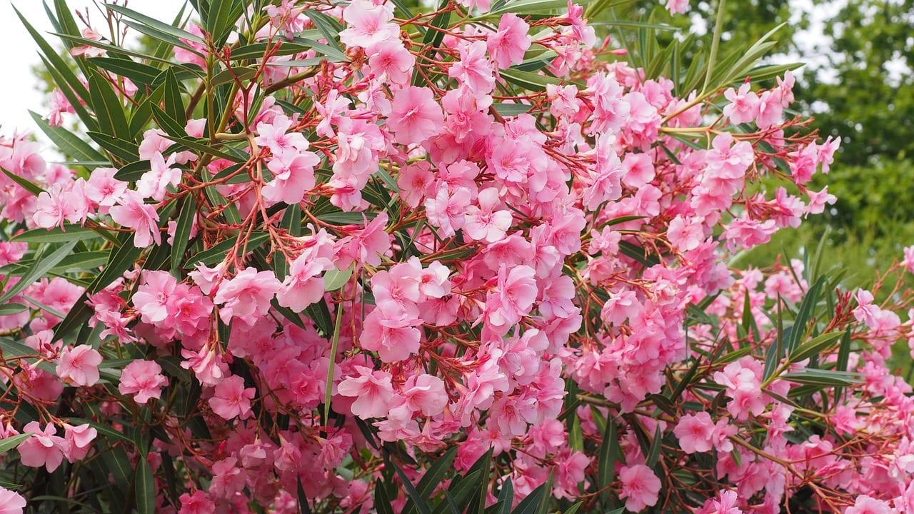Ejemplar de adelfa de flor rosa