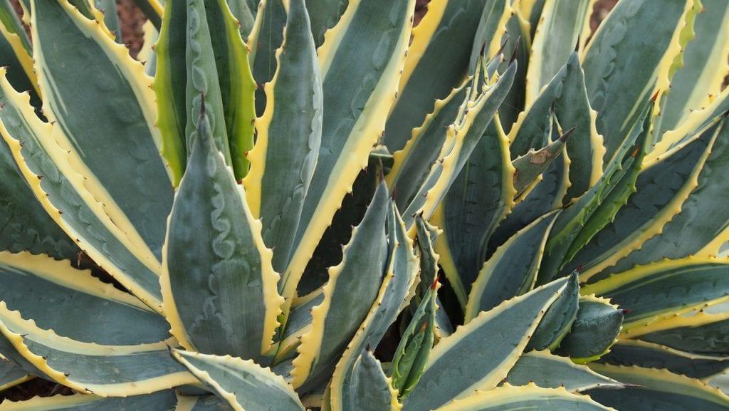 Los agaves producen numerosos hijuelos