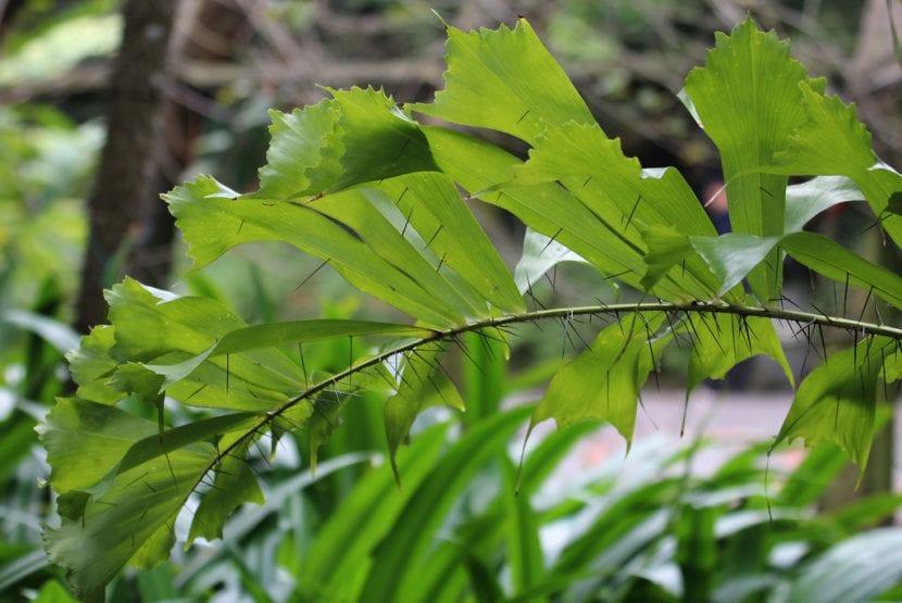 Detalle de las espinas de la Aiphanes caryotaefolia
