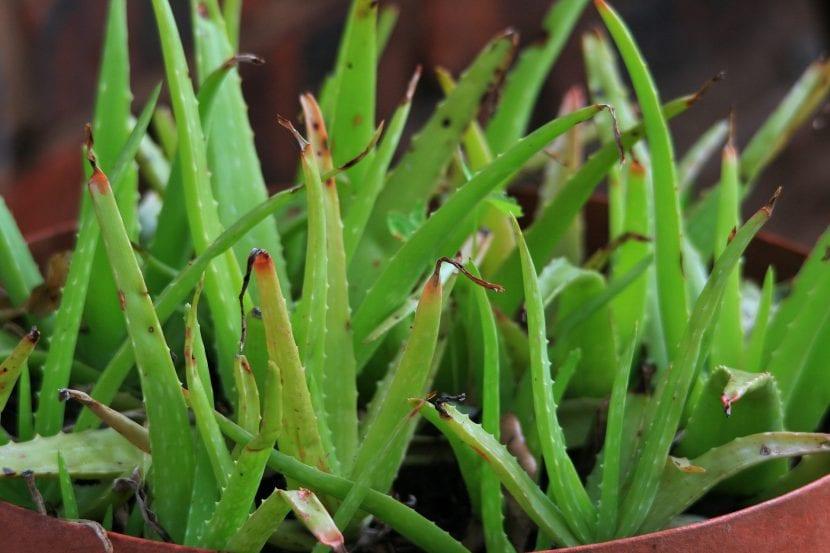 Hijuelos de Aloe vera
