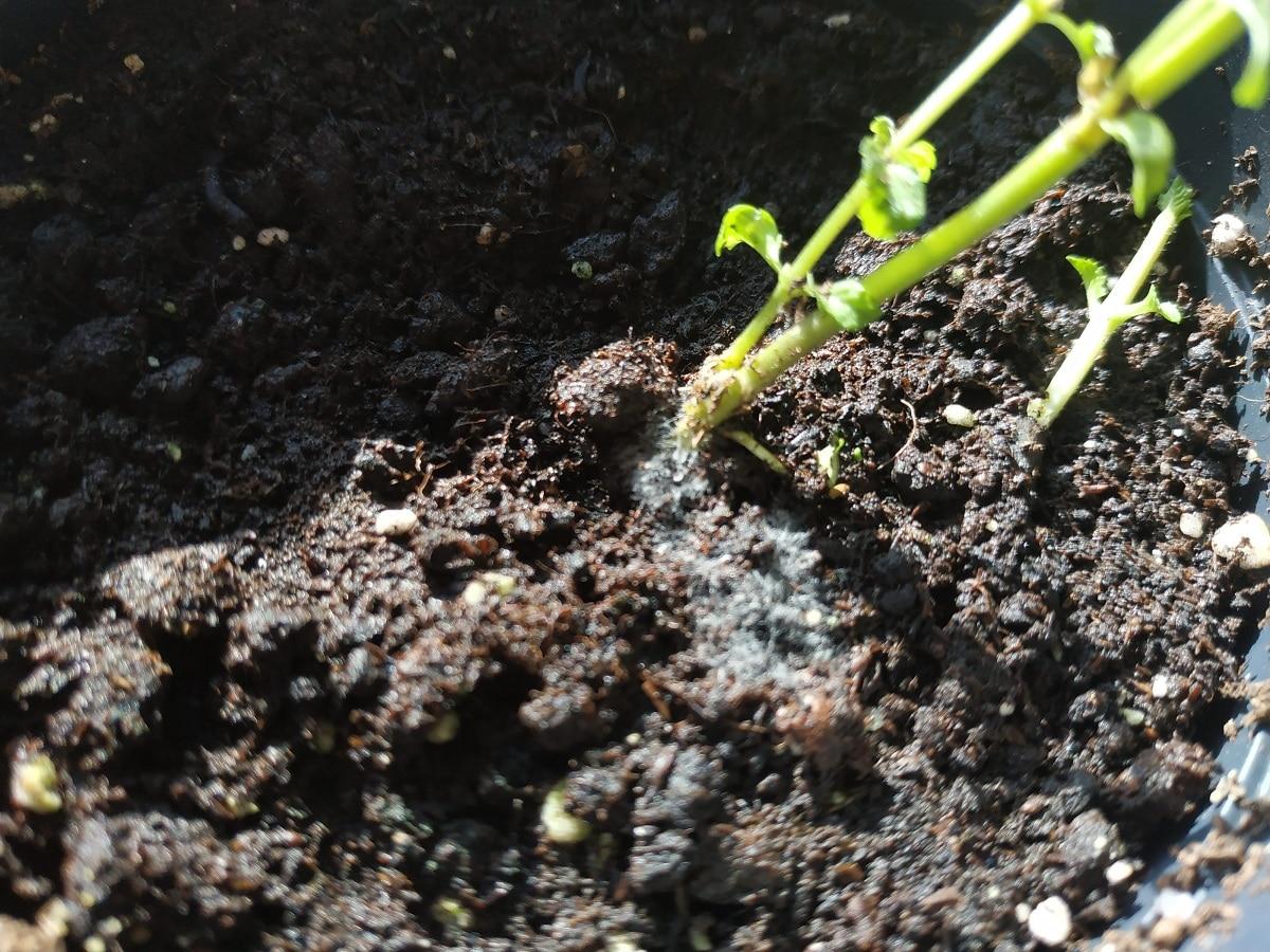 Los hongos aparecen en el sustrato