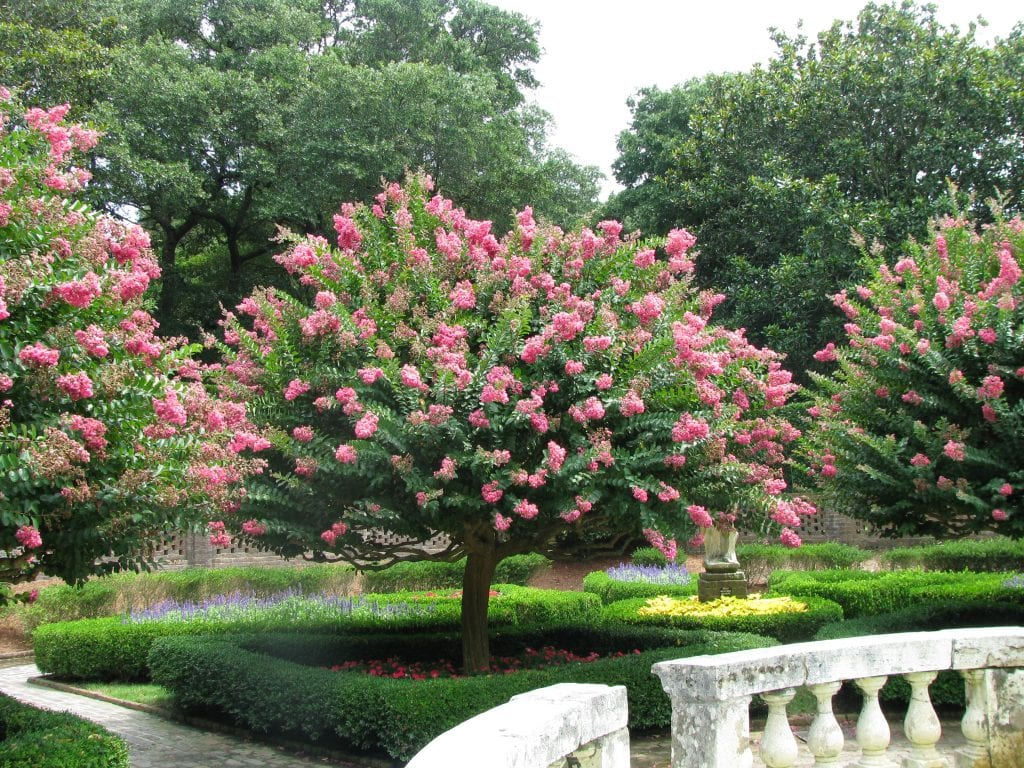 C mo cuidar o mantener la lagerstroemia indica o rbol de j piter - Arboles jardin ...