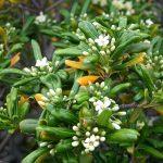 El Pittosporum tobira es un arbusto perennifolio