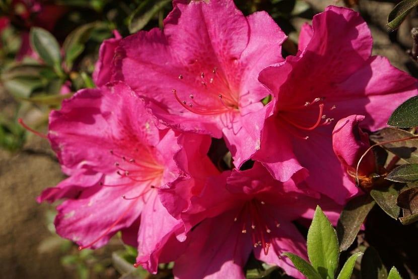 azalea en el jardín