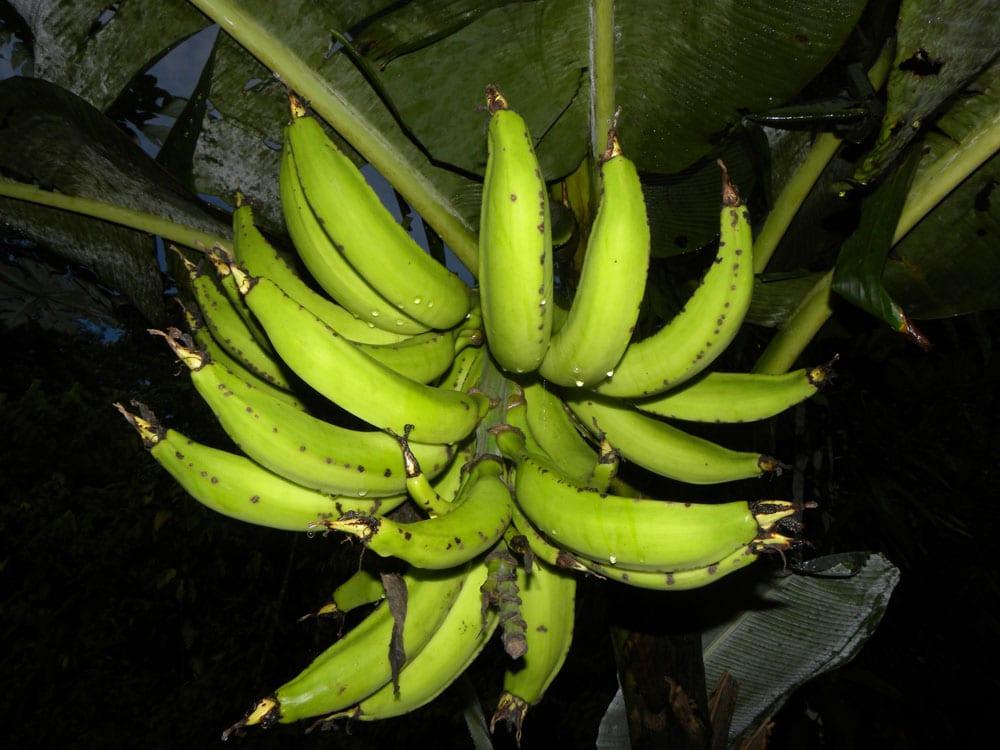 Frutos maduros de la banana, listos para cosechar
