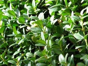 Buxus Sempervirens, un pequeño arbusto de uso ornamental