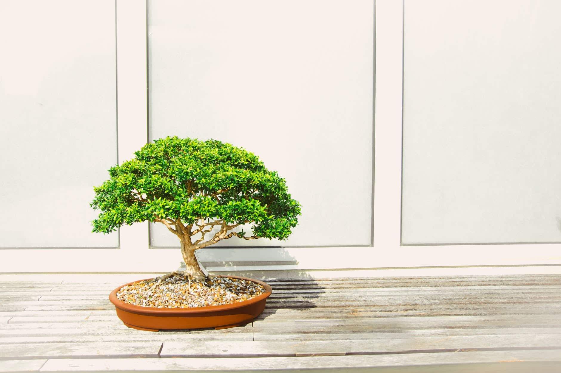 Los bonsais son sensibles al exceso de riego