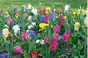 Plantas bulbosas en flor