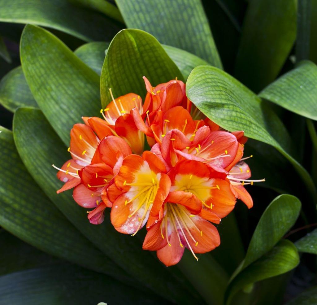Vista de la clivia en flor