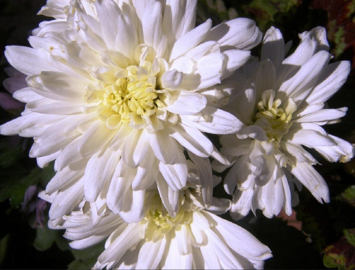 Los crisantemos blancos florecen en otoño