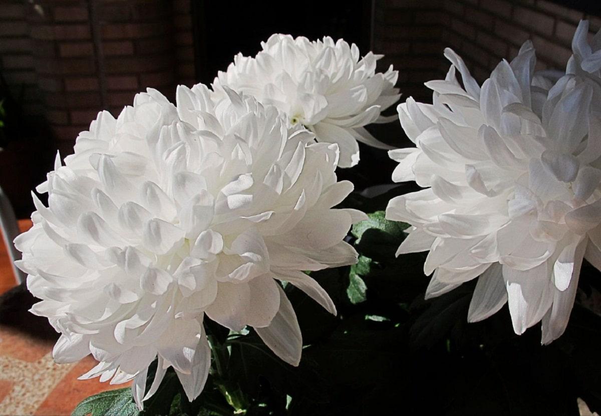 Los crisantemos blancos son muy decorativos
