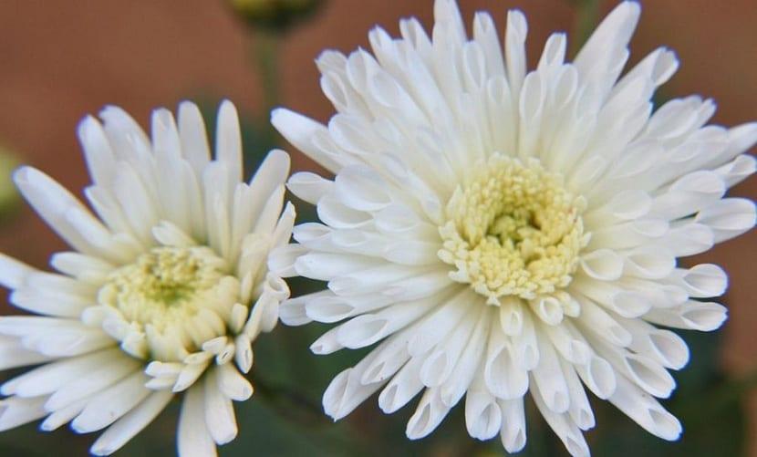crisantemo blanco