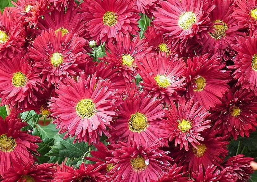 Crisantemos (Chrysanthemum)