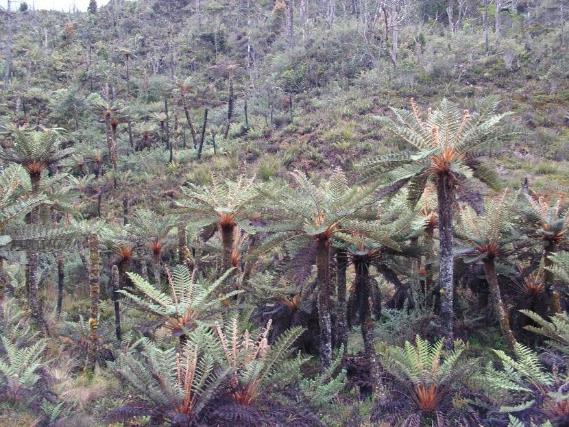 Cyathea tomentosissima en hábitat