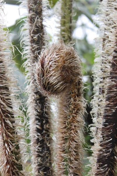 Hojas nuevas de la Cyathea tomentosissima