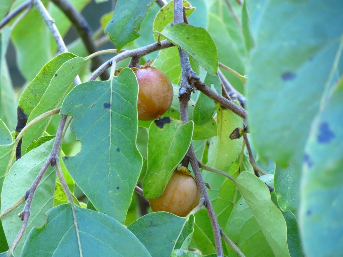 El caqui de Virginia es un árbol caducifolio